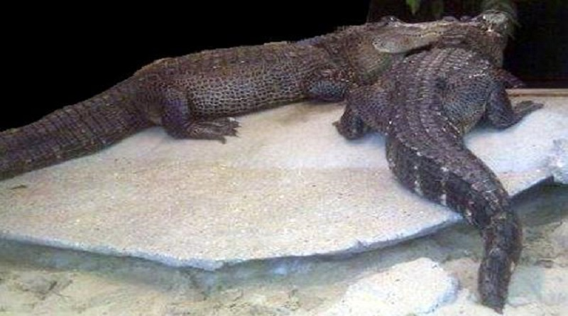 krokodillenbende